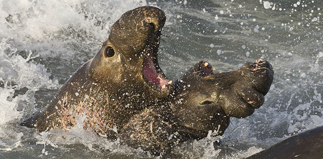 1200px-Elephant_seals_fighting_cut
