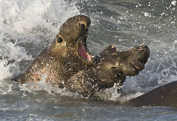 """Rypouši sloní bojují"" by Mike Baird, bairdphotos.com - Northern Elephant Seals Fighting, Piedras Blancas, San Simeon, CA 02feb2008. Canon 1D Mark III w/ 600mm f/4 IS lens on tripod.. Licensed under Creative Commons Attribution 2.0 via Wikimedia Commons - http://commons.wikimedia.org/wiki/File:Elephant_seals_fighting.jpg #mediaviewer/File:Elephant_seals_fighting.jpg"