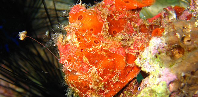 Frogfish_at_Mactan_Cebu_zahlavi
