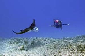"Manta s potápěčem. Zdroj: ""Female scuba diver swims with a young male Manta ray - Kona district, Hawaii"" by Steve Dunleavy from Lake Tahoe, NV, United States - Nick and Isabelle, Kona Hawaii. Licensed under Creative Commons Attribution 2.0 via Wikimedia Commons - http://commons.wikimedia.org/wiki/File:Female_scuba_diver_swims_with_a_young_male_Manta_ray_-_Kona_district,_Hawaii.jpg#mediaviewer/File:Female_scuba_diver_swims_with_a_young_male_Manta_ray_-_Kona_district,_Hawaii.jpg"