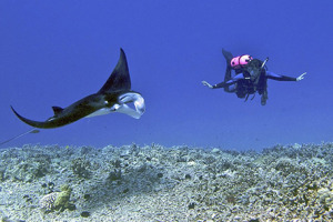 1280px-Female_scuba_diver_swims_with_a_young_male_Manta_ray_-_Kona_district,_Hawaii